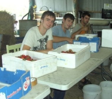 patrick, patrick and alex packing strawberries...